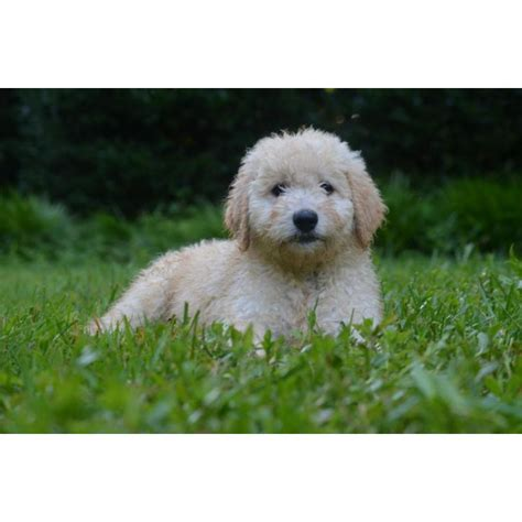 mini doodle nc puppies for sale goldendoodle goldendoodles mini