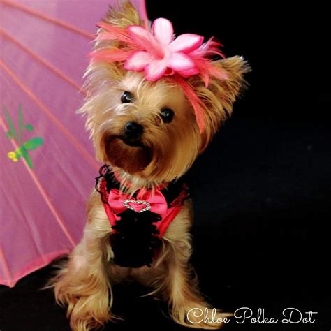 yorkie dressed up 403 best images about dressed up yorkie on terrier yorkie