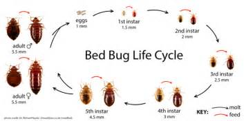 Life Cycle Of A Bed Bug Bed Bug Everything You Need To Know