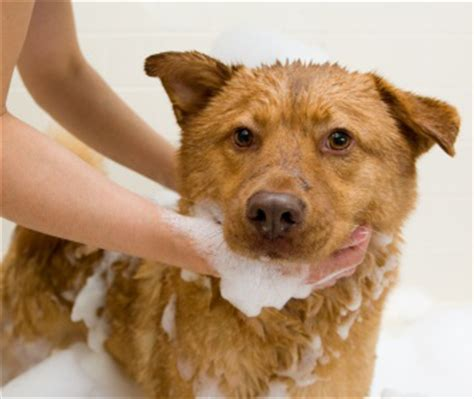 bathing a puppy simple tricks to make bathing easier faster and neater