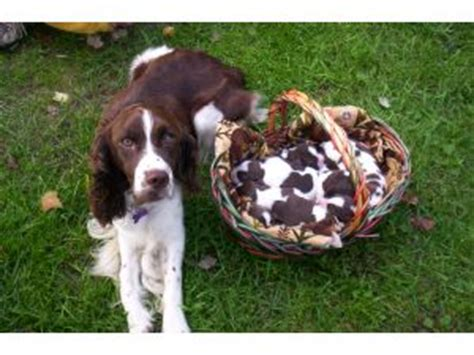 springer spaniel puppies for sale in michigan springer spaniel puppies in michigan