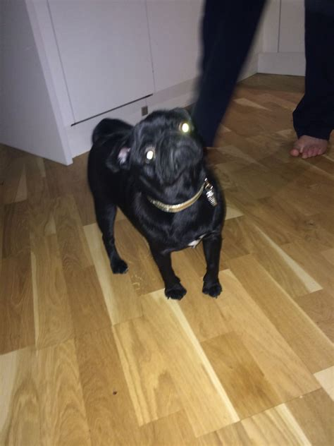 pugs for sale sheffield 18 month pug for sale sheffield south pets4homes