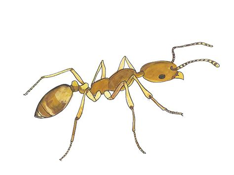 pharaoh ant pest identification cloud termite and pest
