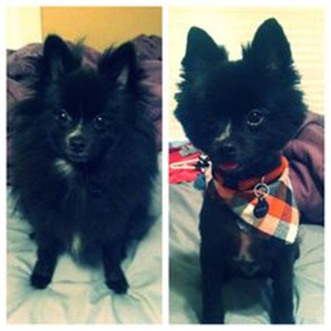 black pomeranian haircuts pomeranian haircuts for chester haircuts puppies and pomeranian haircut