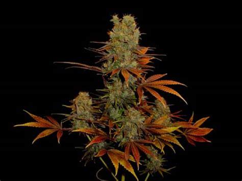 lade cannabis g13 somango soma seeds seedfinder sorten info
