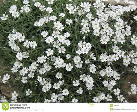 fiori bianchi piccoli molti piccoli fiori bianchi immagine stock immagine