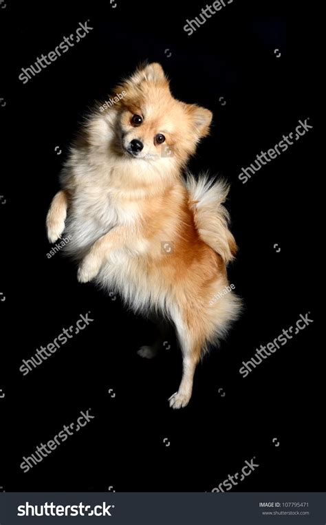 standing pomeranian a beautiful small breed pomeranian standing on two legs and paws