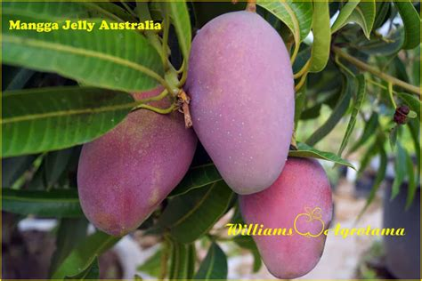 Jual Bibit Buah Gac jual bibit tanaman buah mangga 0878 55000 800 jual
