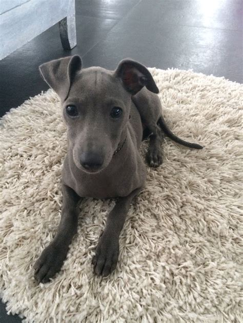puppy in italian best 25 italian greyhound ideas on italian greyhound puppies italian