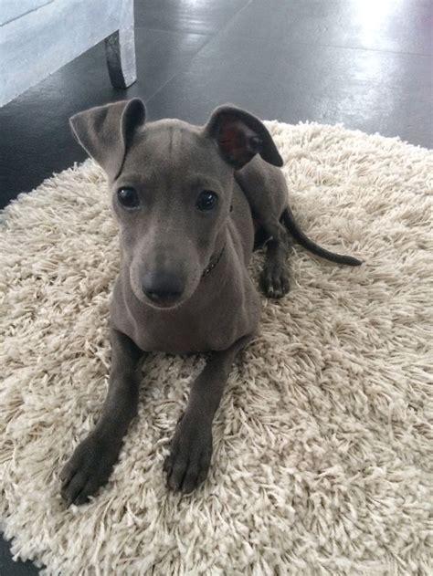 italian greyhound puppies price 25 best ideas about italian greyhound on italian greyhound italian