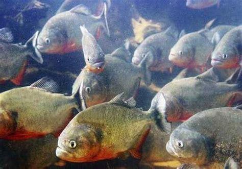 film barat monster ikan related keywords suggestions for ikan piranha