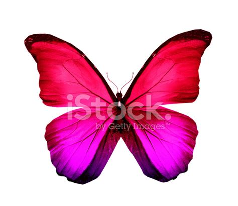 Gamis Buterfly Premium White Pasmina pink violet butterfly isolated on white stock photos freeimages