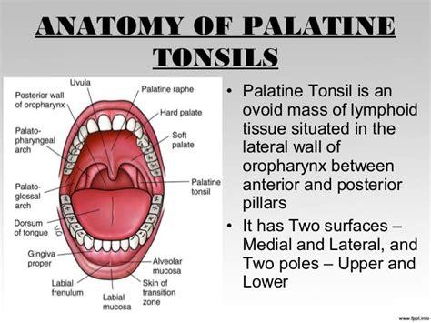Anterior Tonsillar Pillar Anatomy