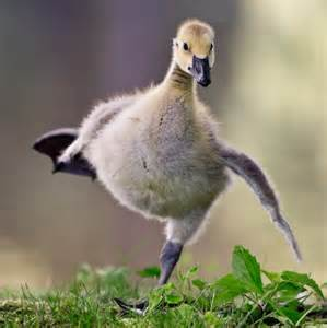 baby canadian goose photorator