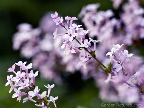 lilac flower lilacs lovely little things