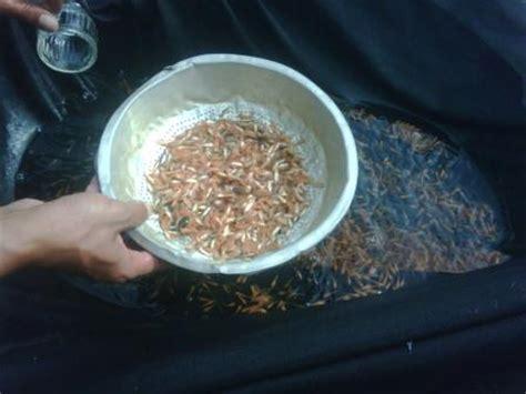 Jual Bibit Ikan Arwana Merah jual bibit ikan murah budidaya ikan air tawar