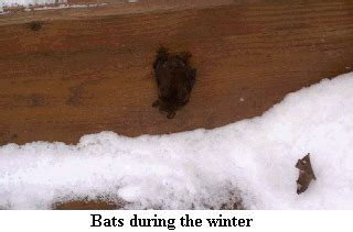 bats in the winter bat specialists of michigan