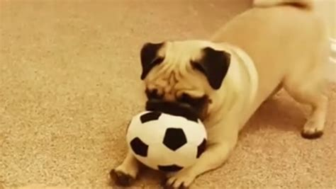 soccer pugs pug plays soccer on the stairs