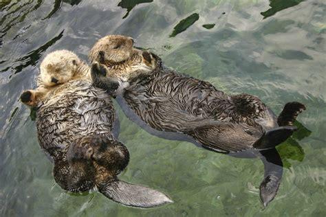 otter schlafen national aquarium happy sea otter awareness week