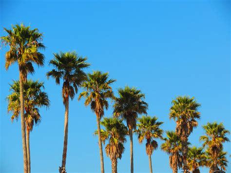 California Palm california palm trees alex adkins flickr