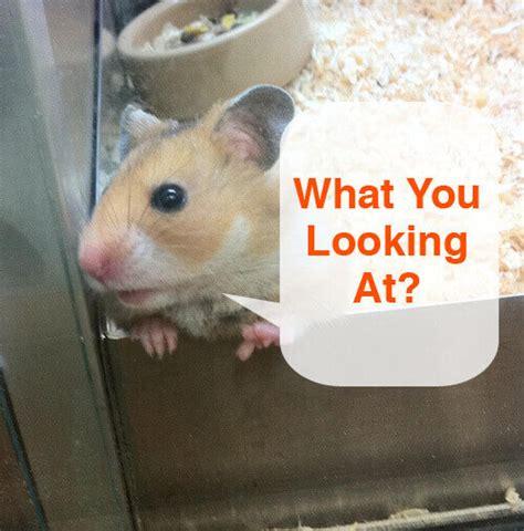 hamster body language behavior   means