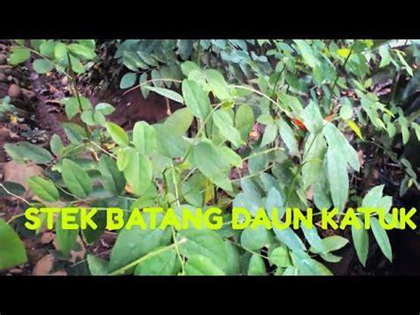 Bibit Daun Katuk stek bibit tanaman daun katuk dengan mudah