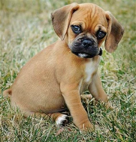 puggles puppies best 20 puggle puppies ideas on pug puppies black pug puppy and black