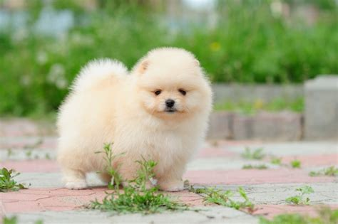 fluffy pomeranians 8 pomeranian facts that will your mind
