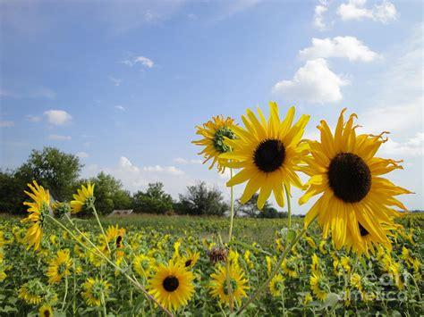 kansas sunflower kansas sunflower by crystal socha