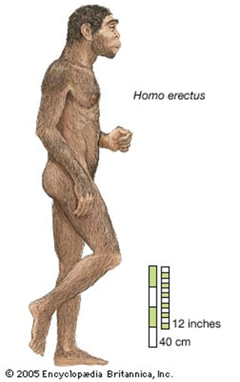 Fossil De Cuerto erectus extinct hominin britannica