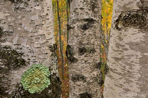 birch trees autumn alger county michigan forest rod planck photography