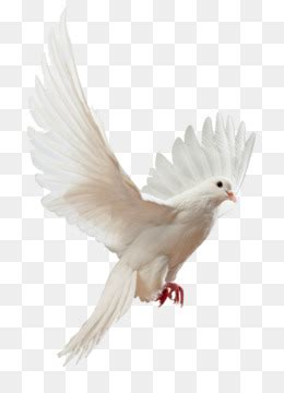 dove png dove transparent clipart