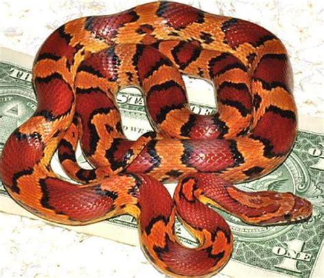 corn snake colors corn snake beautiful color and pattern corn snake
