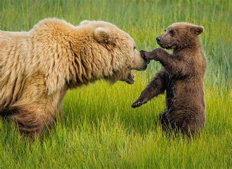alex morley sow cub cosatal bears alex morley photography