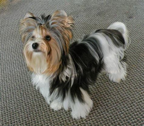tri color yorkie biewer terrier berlin dogs in our photo