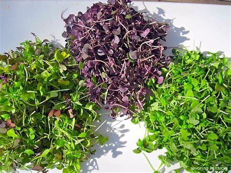 Microgreens Benih Basil Sprout Micro Green Basil Kemangi Import not sprouts microgreens savoring kentucky