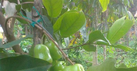 Bibit Jambu Air Green bibit tanaman buah unggul tamora unggul nursery jambu