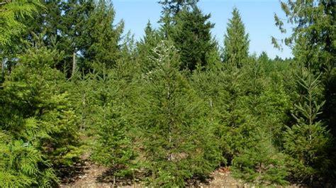 duncan fir tree 28 best duncan fir tree cowichan valley trees duncan bc prices 250 748
