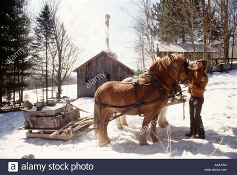 maple tree and horses a gets his horses ready to retrieve maple sap to make maple stock photo royalty free image
