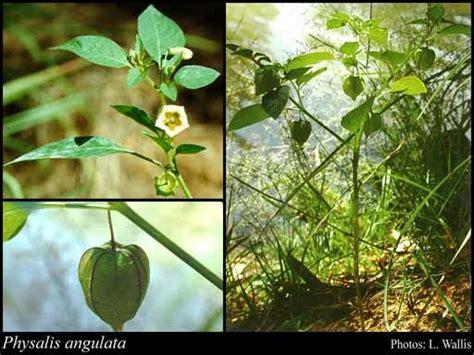 Buah Ciplukan Kering Ciplukan Physalis Angulata L Bibit Benih ilmu budidaya peternakan indonesia obat herbal untuk