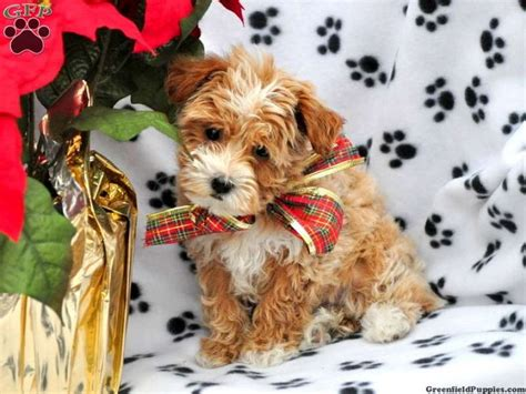 havanese puppies for sale in nebraska rebi havapoo puppy for sale from gap pa puppies coloring puppies