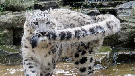 why do snow leopards bite their tails we have adorable