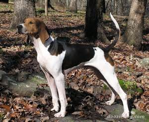 American Foxhound - Dogs breeds | Pets
