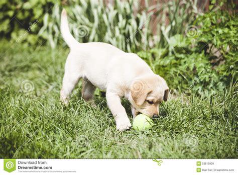 tiny golden retriever golden retriever puppy stock photo image 53819909