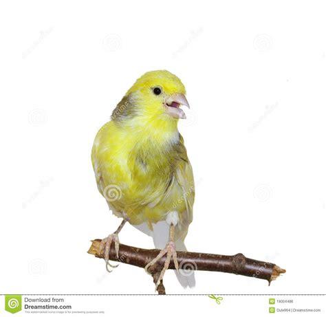rhinelander canaries stock photo royalty yellow canary serinus canaria royalty free stock image