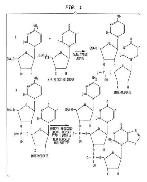 enzyme template patent us6214987 compositions for enzyme catalyzed