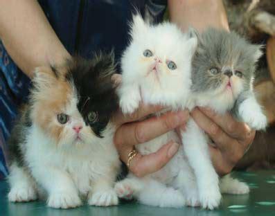 foto gatti persiani cuccioli le foto di alcuni gatti sacro di birmaniae persiano