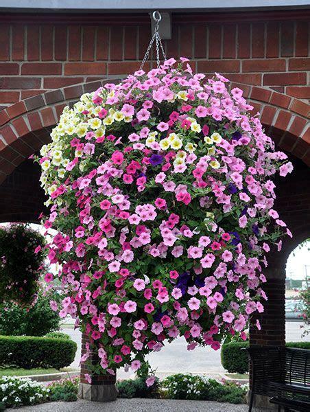 petunias hanging basket garden flowers pinterest