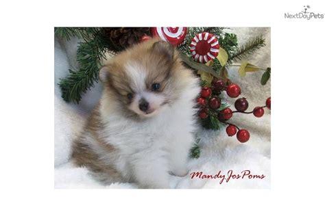 pomeranian puppies for sale in cedar rapids iowa baby pomeranian puppies for sale