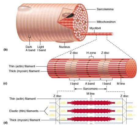 striated cell diagram muscles